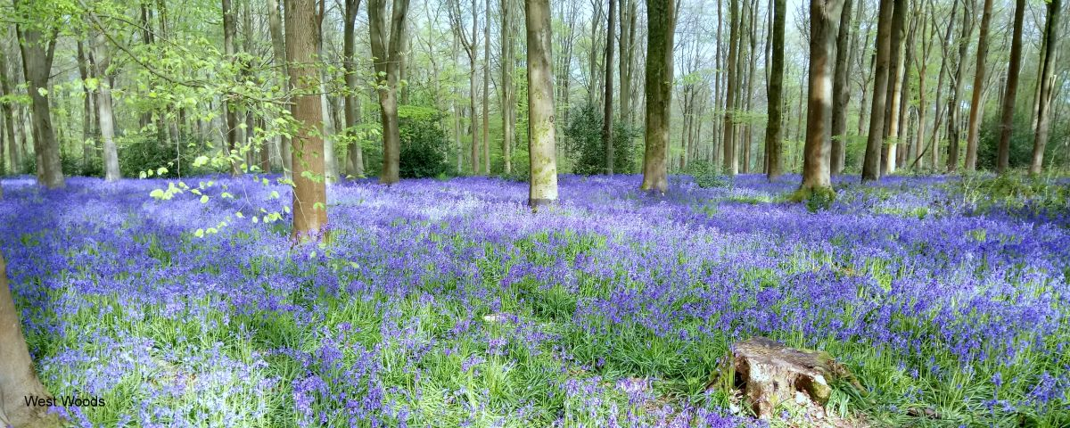 West-Woods-May-2017-Bluebells