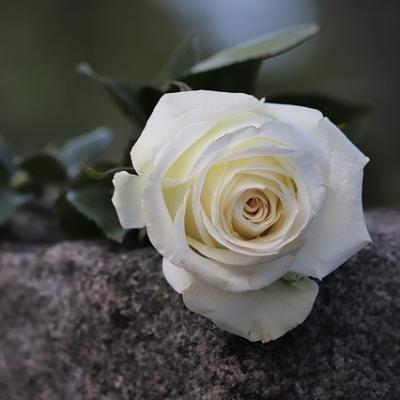 a white rose lying on a stone